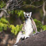 lemuren apensoort madagaskar